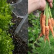 Foto Stock: Growing Carrots