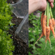 Royalty-Free Stock Photo: Growing Carrots