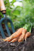 Carrots — Stockfoto