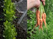 Cultivo de zanahorias — Foto de Stock