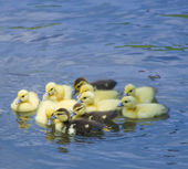 Group of baby ducks swimming in a pond — Stock Photo