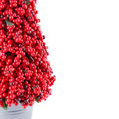 Red Berry Tree — Stock Photo