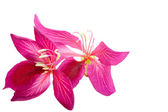 Hong Kong Orchid flower — Stock Photo