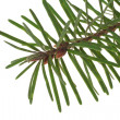 Branch of the spruce - Foto de Stock  