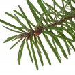 Branch of the spruce - 图库照片