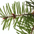 Branch of the spruce — Stock Photo