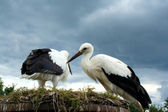 Couple storks — Stock Photo