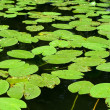 Green lily pads — Stock Photo
