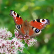 Butterfly On The Flower — Stock Photo #2320908