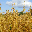 Oats in the harvest — Stock Photo