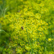 Blooming fennel in garden — Stock Photo #2521717