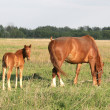 The horse and foal — Stock Photo