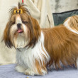 Shih Tzu — Stock Photo #2410888