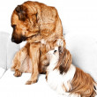 Caucasian Shepherd and Shih Tzu — Stock Photo