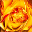 Yellow-red rose - Stock Photo