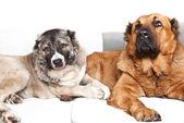 Caucasian shepherd dogs — Stock Photo