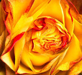 Yellow-red rose — Stock Photo