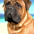 Stock Photo: Bullmastiff dog
