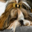 Shih Tzu — Stock Photo #2446510