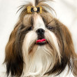 Shih Tzu dog — Stock Photo #2446585