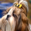 Shih Tzu dog — Stock Photo #2446670