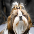 Stock Photo: Shih Tzu dog