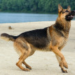German shepherd — 图库照片