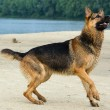 German shepherd — Foto de Stock