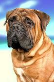 Bullmastiff dog — Stock Photo
