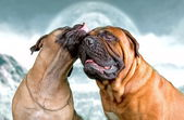 Bullmastiff dogs — Stock Photo