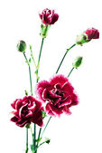 Carnation flowers — Stock Photo