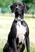 Pointer dog — Stock Photo