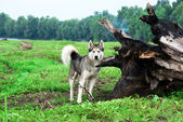 Husky pes — Stock fotografie