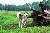 Perros huskys — Foto de Stock