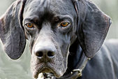 Portrait of a pointer dog — Stock Photo