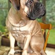 Portrait of bullmastiff — Stock Photo
