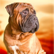 Stock Photo: Bullmastiff