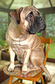 Portrait of bullmastiff — Stock Photo
