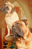 Two funny looking bullmastiffs — Stock Photo