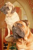 Two funny looking bullmastiffs — Stock Photo