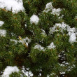 Winter pine — Stock Photo #2462895