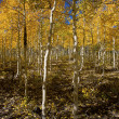 Aspens in Autumn - Stock Photo