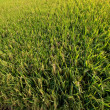 Paddy field — Stockfoto #2330700