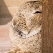 Resting rabbit — Stock Photo