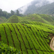 Tea field - Stock Photo