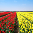 Fields of tulips — Stock Photo