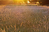 Summer glow grassland — Stock Photo