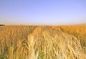 Summer hay field — Stock Photo