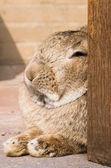 Resting rabbit — Stock Photo
