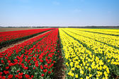 Fields of tulips — Stok fotoğraf